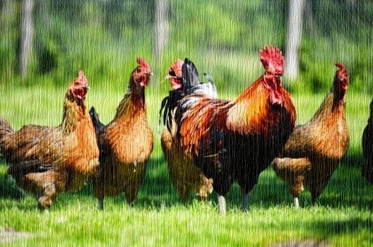 Ayam tidak bisa terbang. by infoagribisnis.comjpg