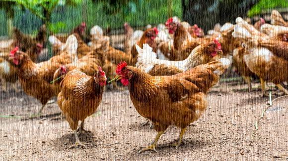 Ayam Tidak Dipersiapkan Untuk Terbang by francetvinfo.fr