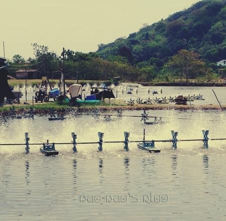 Tips Membuat Tanah Dasar Tambak Sehat - Faktor Penyebab Ikan Udang Mati Masal Secara Mendadak